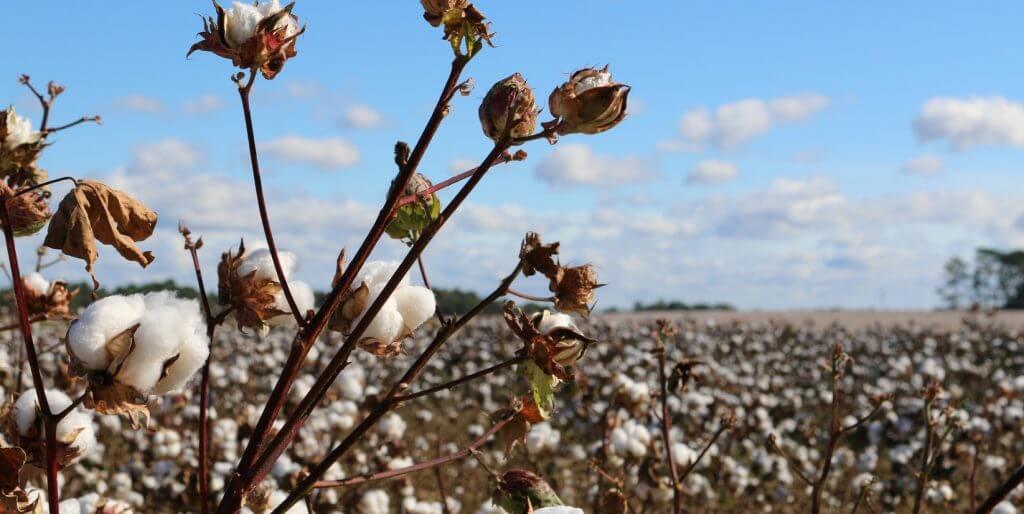 cotton-plants