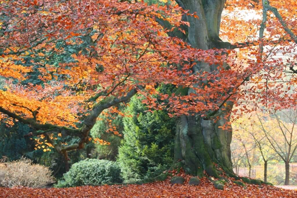 fagus-sylvatica-purpurea-beech-trees