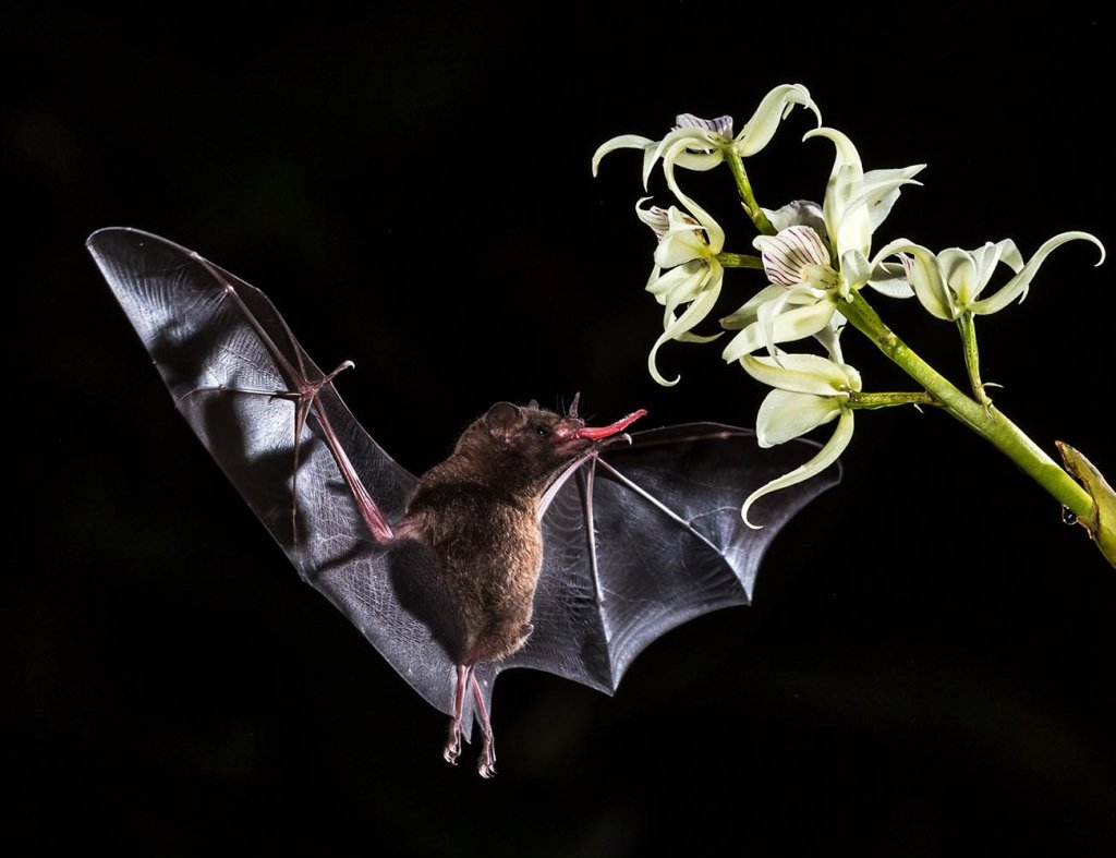 bat-pollination