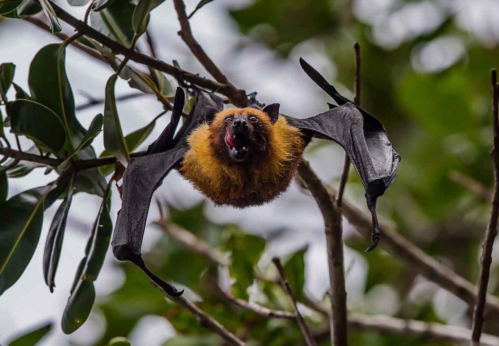 bat-tongue